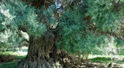 Ozieri, olivastro di Meleu