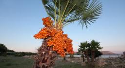 Palma nana a Sant'Imbenia