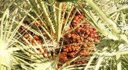 Frutti quasi maturi della Palma nana