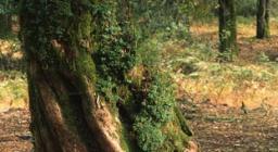 Alberi di tasso, Taxus baccata, Bolotana