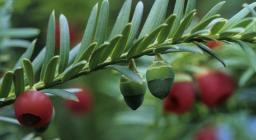 Frutto del Tasso, Foresta di Badde Salighes, Bolotana