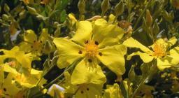 """Halimium halimifolium"" by fotoculus is licensed under CC BY-NC-SA 2.0"