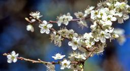Perastro - fiori