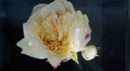 Alberic Barbier (rosa)