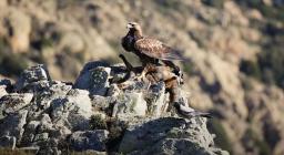 Aquila reale con preda (dal video Forestas, non solo Foreste, D.Ruiu)