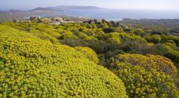 Asinara, distesa di euforbie (foto D.Ruiu)