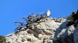 Capovaccai in Sardegna (foto Pietro Masala)