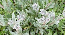 Cynoglossum_cheirifolium dettaglio