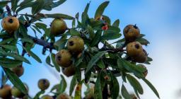 frutti e foglie del perastro (foto C.Mascia)