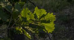 foglie roverella con sfondo ombroso (foto Cristian Mascia)