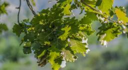 foglie roverella (foto Cristian Mascia)