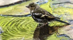 giovane passeriforme