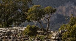 un ginepro, icona della resistenza della Natura in Sardegna (foto C.Mascia)