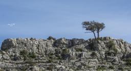Un albero oltre quota mille, presso Serbissi - Gairo  (foto C.Mascia)
