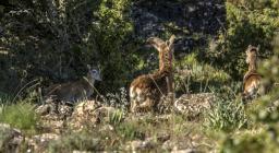 Mufloni al pascolo, area del Gennargentu, Ogliastra (foto di repertorio C.Mascia)