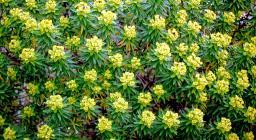 Euphorbia dendroides (foto Brotzu)