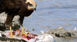Falco palude, con preda (fenicottero). Foto Alfonsio Mascia.jpg