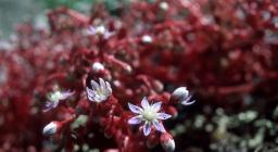 Fiore di Borracina (foto Manunza, Sardegna Digital library)