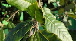 Primo piano foglie leccio (foto Alessio Saba)