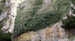 Edera secolare aggrappata su una parete rocciosa (foto A.Saba)