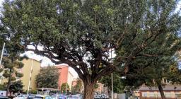 Un maestoso esemplare urbano di Carrubo, a Cagliari in piazza Islanda