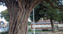 Dettaglio di un maestoso esemplare di carrubo in piazza Islanda a Cagliari