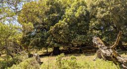 Magia Tuviois, alberi secolari, alberi morti (foto A.Saba)