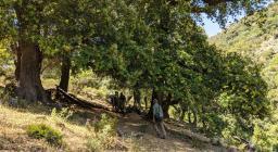 Magia Tuviois, alberi secolari (foto A.Saba)