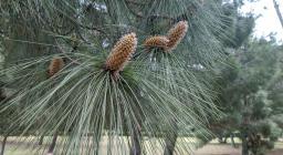 Particolare di foglie e infiorescenze, pino delle Canarie (A.Saba)