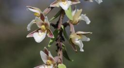"""Marsh Helleborine - Epipactis palustris"" by Björn S... is licensed under CC BY-SA 2.0"