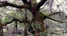 Albero vetusto presso Montes_Mereu