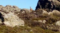 Una mufla pascola nei praticelli fra i graniti, sulle cime del M. Limbara, fotografata durante i centimenti 2019