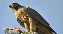 Falco pellegrino, da Wikipedia (Di Will Mayall - Opera propria, CC BY-SA 4.0)