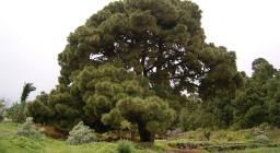 Pinus canariensis a Santa Cruz de La Palma, Canarie (foto Wikimedia,Frank Vincentz CC-BY-SA)