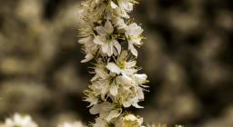 Ramo biancospino in fiore