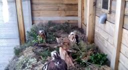 Le cinque aquile arrivate ad aprile 2019 a Tepilora sono già custodite nella voliera di pre-adattamento
