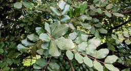 Carrubo: dettaglio rami e foglie