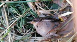 Piccolo passerotto caduto dal nido