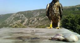 Pratteri, l'Aquila di Bonelli al suo terzo anno di vita, sul posatoio con lo sguardo sulla carne disponibile
