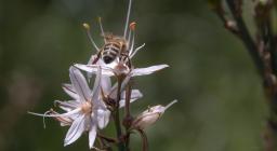 Ape su fiore di Asfodelo (foto repertorio Forestas, Cristian Mascia) 2