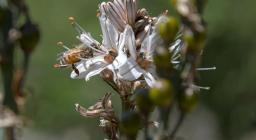 Forestas, fioritura asfodeli a Pranu (foto Mario Cossu)