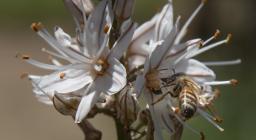 Ape su fiore di Asfodelo (foto repertorio Forestas, Cristian Mascia)