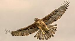 Aquila del Bonelli (giovane in volo, da progetto Aquila A-life)