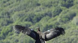 Condor californiano (da WIKIMEDIA, Scott Frier - U.S. Fish and Wildlife Service).jpg