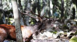 Bramito del cervo a Is Cannoneris (foto V.Basciu)  2