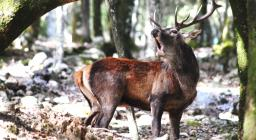 Bramito del cervo a Is Cannoneris (foto V.Basciu)
