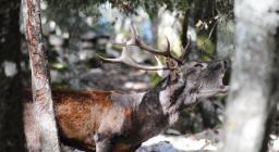 Bramito del cervo a Is Cannoneris (foto V.Basciu)  3