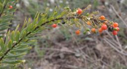 """Daphne gnidium L. / torvisco, baladre."" by chemazgz is licensed under CC BY-NC-SA 2.0"