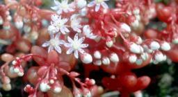 fiorellini di Sedum caeruleum (foto Brotzu, Digital library)