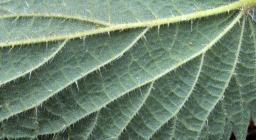 """""""Common nettle (Urtica dioica) 1/2"""" by Science and Plants for Schools is licensed under CC BY-NC-SA 2.0"""